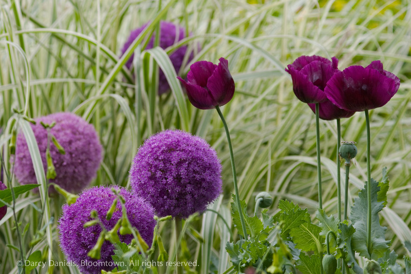 Papaver 'Lauren's Grape' and Allium giganteum against a backdrop of variegated ornamental grass, Miscanthus sinensis 'Variegatus'.