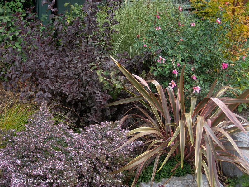 Physocarpus 'Diabolo', Miscanthus sinenis 'Morning Light', Rosa mutabilis, Phormium and Aster 'Prince.